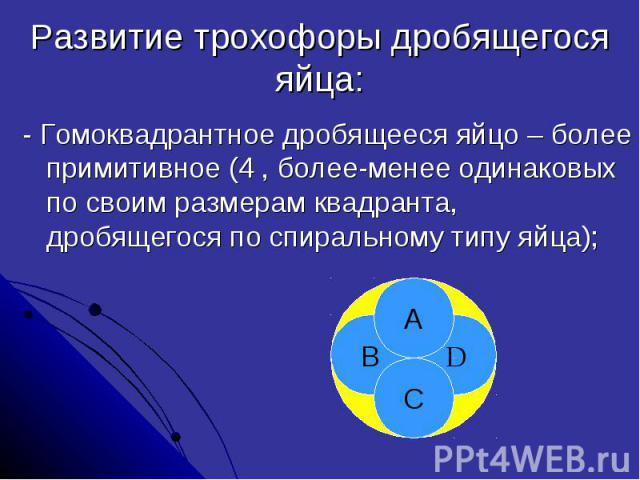 Развитие трохофоры дробящегося яйца: - Гомоквадрантное дробящееся яйцо – более примитивное (4 , более-менее одинаковых по своим размерам квадранта, дробящегося по спиральному типу яйца);