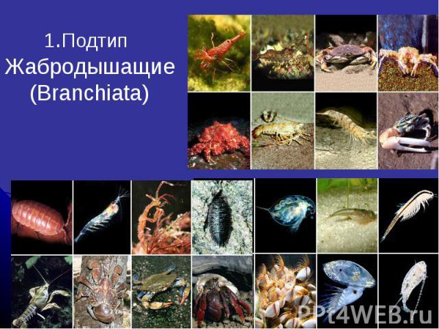1.Подтип Жабродышащие (Branchiata)