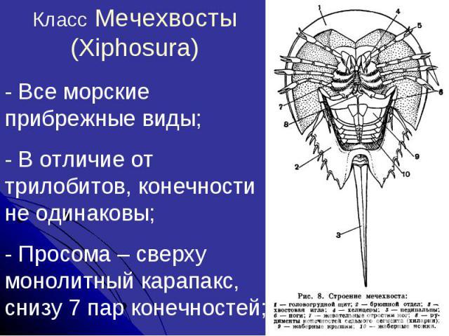 Класс Мечехвосты (Xiphosura)