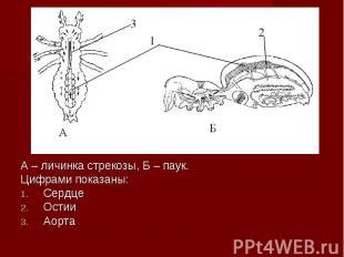 А – личинка стрекозы, Б – паук. А – личинка стрекозы, Б – паук. Цифрами показаны