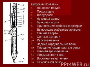Цифрами показаны: Цифрами показаны: Венозная пазуха Предсердие Желудочек Луковиц