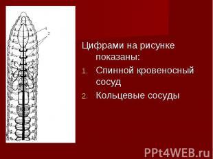 Цифрами на рисунке показаны: Цифрами на рисунке показаны: Спинной кровеносный со