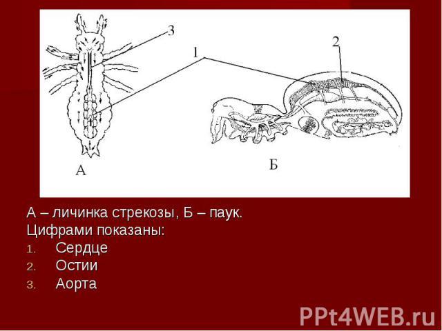 А – личинка стрекозы, Б – паук. А – личинка стрекозы, Б – паук. Цифрами показаны: Сердце Остии Аорта