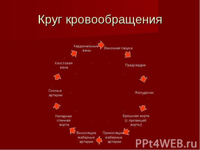 Круг кровообращения