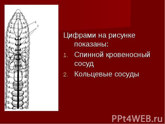 Цифрами на рисунке показаны: Цифрами на рисунке показаны: Спинной кровеносный сосуд Кольцевые сосуды