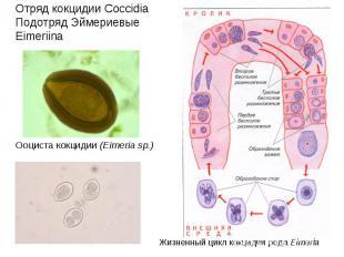 Отряд кокцидии Coccidia Подотряд Эймериевые Eimeriina