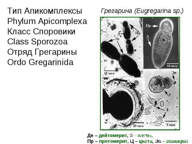Тип Апикомплексы Phylum Apicomplexa Класс Споровики Class Sporozoa Отряд Грегарины Ordo Gregarinida