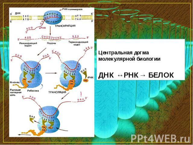 Центральная догма молекулярной биологии ДНК ↔РНК→ БЕЛОК