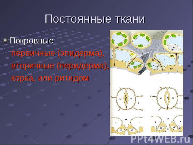 Покровные Покровные первичные (эпидерма), вторичные (перидерма), корка, или ритидом
