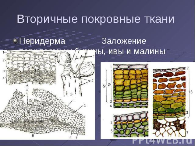 Вторичные покровные ткани Перидерма Заложение перидермы у бузины, ивы и малины