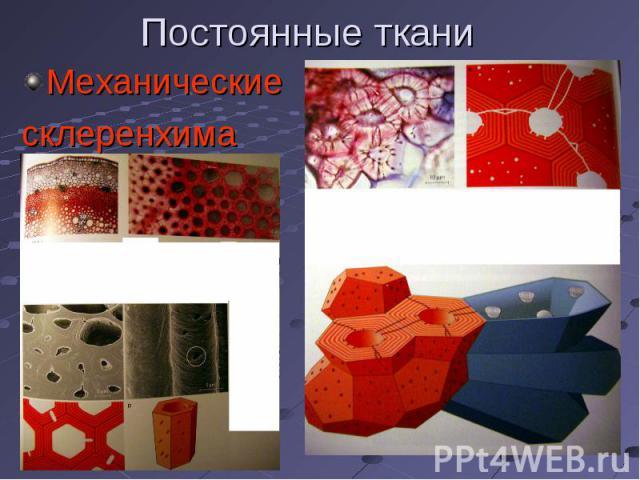 Механические Механические склеренхима