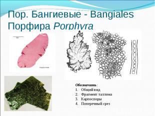 Пор. Бангиевые - Bangiales Порфира Porphyra