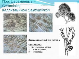 Пор. Церамиевые – Ceramiales Каллитамнион Callithamnion