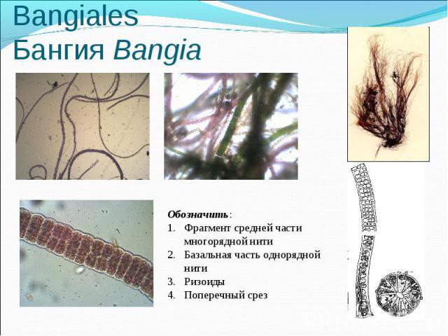 Пор. Бангиевые - Bangiales Бангия Bangia