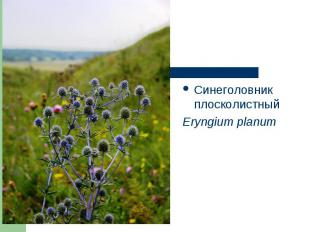 Синеголовник плосколистный Синеголовник плосколистный Eryngium planum