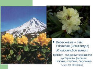 Вересковые – сем. Ericaceae (2500 видов) Вересковые – сем. Ericaceae (2500 видов