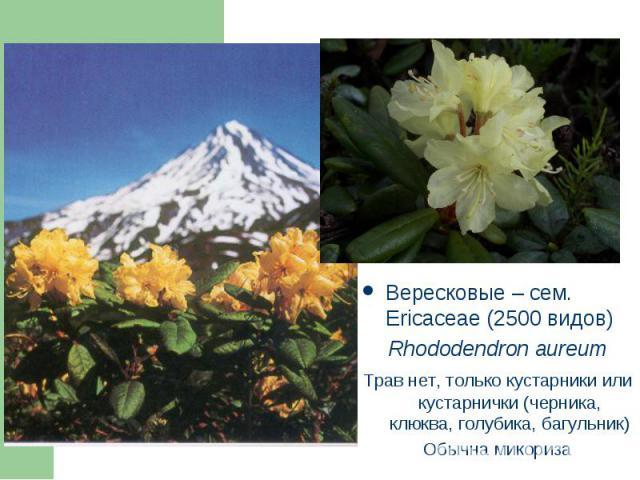 Вересковые – сем. Ericaceae (2500 видов) Вересковые – сем. Ericaceae (2500 видов) Rhododendron aureum Трав нет, только кустарники или кустарнички (черника, клюква, голубика, багульник) Обычна микориза