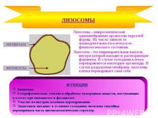 Лизосомы - микроскопические одномембранные органеллы округлой формы. Их число за