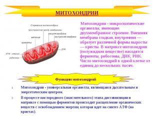 Митохондрии - микроскопические органеллы, имеющие двухмембранное строение. Внешн