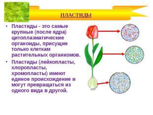 Пластиды - это самые крупные (после ядра) цитоплазматические органоиды, присущие