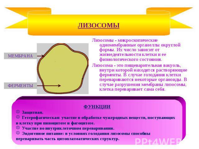 Лизосомы - микроскопические одномембранные органеллы округлой формы. Их число зависит от жизнедеятельности клетки и ее физиологического состояния. Лизосомы - микроскопические одномембранные органеллы округлой формы. Их число зависит от жизнедеятельн…