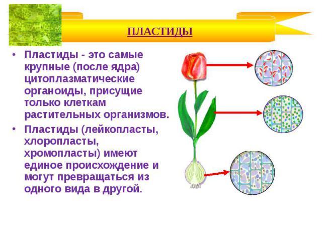 Пластиды - это самые крупные (после ядра) цитоплазматические органоиды, присущие только клеткам растительных организмов. Пластиды - это самые крупные (после ядра) цитоплазматические органоиды, присущие только клеткам растительных организмов. Пластид…