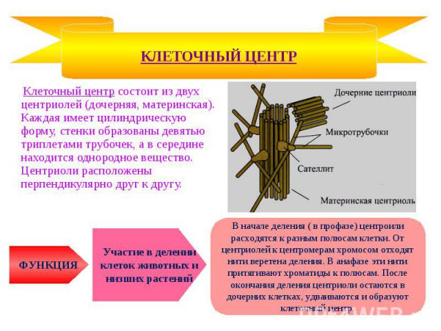 Клеточный центр состоит из двух центриолей (дочерняя, материнская). Каждая имеет цилиндрическую форму, стенки образованы девятью триплетами трубочек, а в середине находится однородное вещество. Центриоли расположены перпендикулярно друг к другу. Кле…