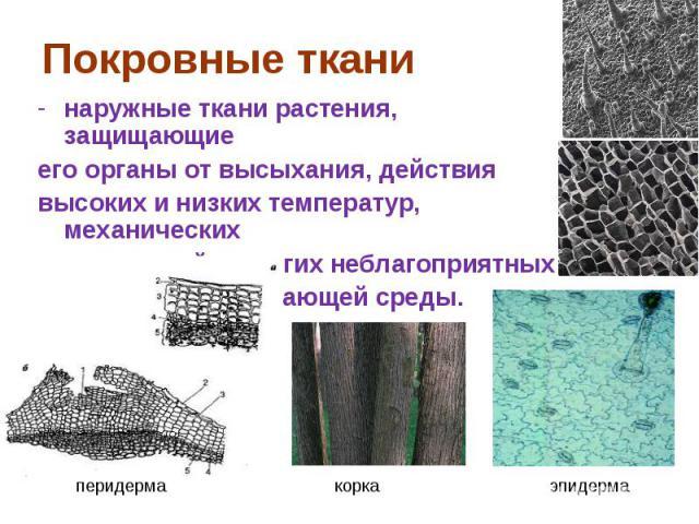 наружные ткани растения, защищающие наружные ткани растения, защищающие его органы от высыхания, действия высоких и низких температур, механических повреждений и других неблагоприятных воздействий окружающей среды.