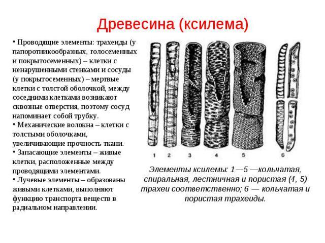 Проводящие элементы: трахеиды (у папоротникообразных, голосеменных и покрытосеменных) – клетки с ненарушенными стенками и сосуды (у покрытосеменных) – мертвые клетки с толстой оболочкой, между соседними клетками возникают сквозные отверстия, поэтому…