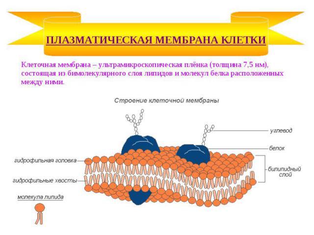 Клеточная мембрана – ультрамикроскопическая плёнка (толщина 7,5 нм), состоящая из бимолекулярного слоя липидов и молекул белка расположенных между ними. Клеточная мембрана – ультрамикроскопическая плёнка (толщина 7,5 нм), состоящая из бимолекулярног…