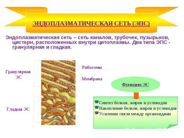 Эндоплазматическая сеть – сеть каналов, трубочек, пузырьков, цистерн, расположенных внутри цитоплазмы. Два типа ЭПС - гранулярная и гладкая. Эндоплазматическая сеть – сеть каналов, трубочек, пузырьков, цистерн, расположенных внутри цитоплазмы. Два т…