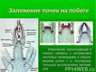 Изменения, происходящие в апексе, связаны с заложением листовых примордиев и обр
