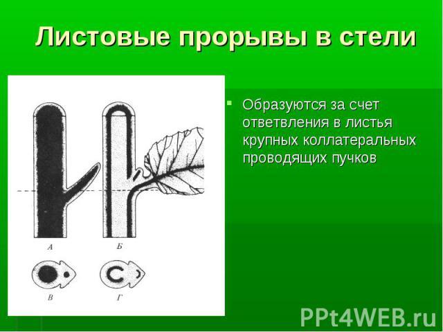 Образуются за счет ответвления в листья крупных коллатеральных проводящих пучков Образуются за счет ответвления в листья крупных коллатеральных проводящих пучков