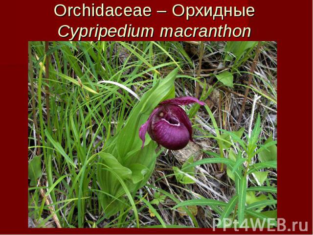 Orchidaceae – Орхидные Cypripedium macranthon