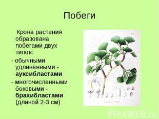 Побеги Крона растения образована побегами двух типов: - обычными удлиненными - а