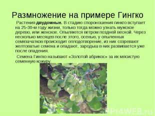 Размножение на примере Гингко Растения двудомные. В стадию спороношения гинкго в
