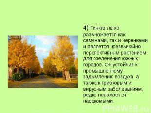 4) Гинкго легко размножается как семенами, так и черенками и является чрезвычайн
