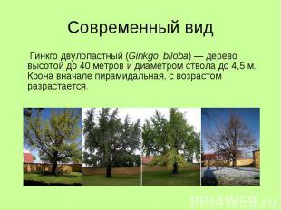 Современный вид Гинкго двулопастный (Ginkgo biloba) — дерево высотой до 40 метро