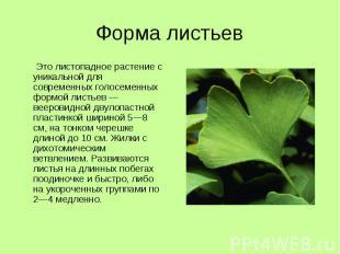 Форма листьев Это листопадное растение с уникальной для современных голосеменных
