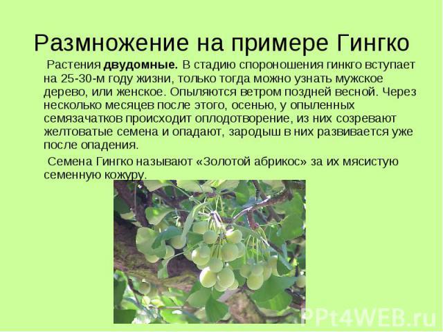 Размножение на примере Гингко Растения двудомные. В стадию спороношения гинкго вступает на 25-30-м году жизни, только тогда можно узнать мужское дерево, или женское. Опыляются ветром поздней весной. Через несколько месяцев после этого, осенью, у опы…