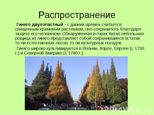 Распространение Гинкго двулопастный - с давних времен считается священным храмовым растением, оно сохранилось благодаря защите его человеком. Обнаруженная в горах Китая небольшая рощица из гинкго представляет собой сохранившиеся остатки то ли естест…