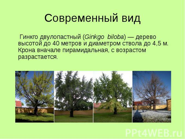 Современный вид Гинкго двулопастный (Ginkgo biloba) — дерево высотой до 40 метров и диаметром ствола до 4,5 м. Крона вначале пирамидальная, с возрастом разрастается.