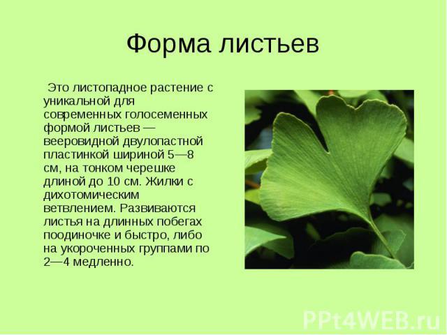 Форма листьев Это листопадное растение с уникальной для современных голосеменных формой листьев — вееровидной двулопастной пластинкой шириной 5—8 см, на тонком черешке длиной до 10 см. Жилки с дихотомическим ветвлением. Развиваются листья на длинных…