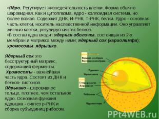 Ядро. Регулирует жизнедеятельность клетки. Форма обычно шаровидная. Как и цитопл