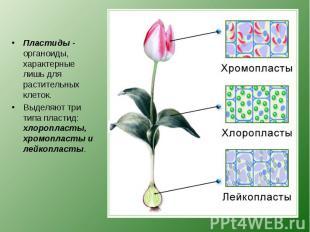 Пластиды - органоиды, характерные лишь для растительных клеток. Пластиды - орган