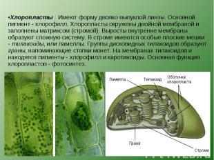 Хлоропласты . Имеют форму двояко выпуклой линзы. Основной пигмент - хлорофилл. Х