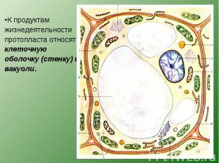 К продуктам жизнедеятельности протопласта относят клеточную оболочку (стенку) и