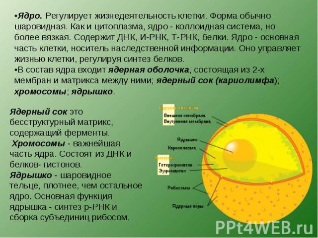 Ядро. Регулирует жизнедеятельность клетки. Форма обычно шаровидная. Как и цитоплазма, ядро - коллоидная система, но более вязкая. Содержит ДНК, И-РНК, Т-РНК, белки. Ядро - основная часть клетки, носитель наследственной информации. Оно управляет жизн…
