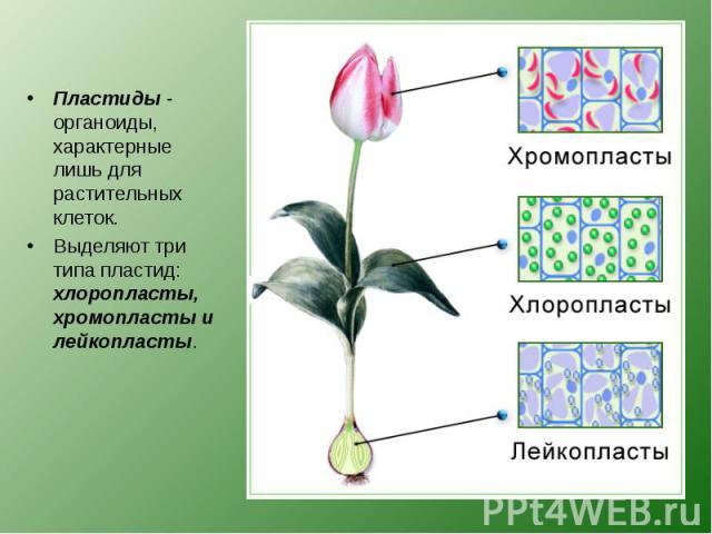 Пластиды - органоиды, характерные лишь для растительных клеток. Пластиды - органоиды, характерные лишь для растительных клеток. Выделяют три типа пластид: хлоропласты, хромопласты и лейкопласты.