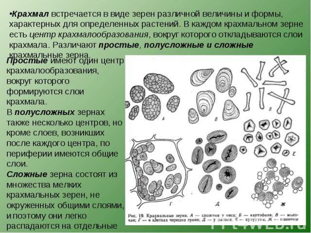 Крахмал встречается в виде зерен различной величины и формы, характерных для определенных растений. В каждом крахмальном зерне есть центр крахмалообразования, вокруг которого откладываются слои крахмала. Различают простые, полусложные и сложные крах…